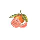 Mandarinas de la acuarela Imágenes de archivo libres de regalías
