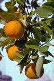 Mandarinas de la Florida Imagenes de archivo