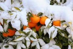 Mandarinas en las ramas de árbol cubiertas con nieve en Atenas, Grecia, el 8 de enero de 2019 imagenes de archivo