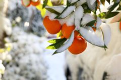 Mandarinas en las ramas de árbol cubiertas con nieve en Atenas, Grecia, el 8 de enero de 2019 foto de archivo