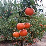 Mandarinas en rama Fotos de archivo libres de regalías