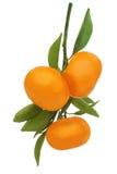 Mandarinas maduras frescas con las hojas verdes aisladas en blanco Fotos de archivo libres de regalías