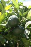 Mandarinas verdes Imagen de archivo