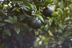 Mandarinas verdes en el jardín Imagenes de archivo