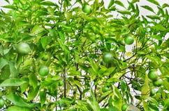 Mandarinas verdes que crecen en una rama de árbol Imagen de archivo