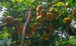 Mandarincitrusfrukter på trädet royaltyfri fotografi