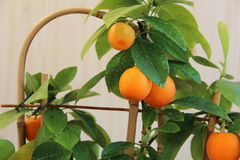Mandarine à la maison Image stock