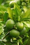 Mandarine 07 Image stock
