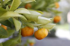 Mandarine royalty free stock photos