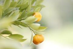 Mandarine Royalty Free Stock Photo