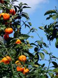 Mandarine. A branch with tangerines on a tree over a blue sky Stock Photos