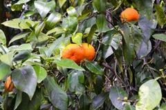 Mandarine auf dem Baum lizenzfreies stockbild