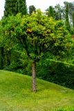 Mandarine d'arbre Images libres de droits