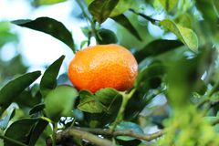 Mandarine dans l'arbre en Costa Rica images stock
