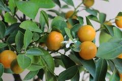 Mandarine der japanischen Orange Stockfotos
