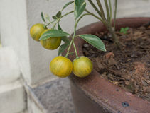 Mandarine in der Töpferwarenurne Stockbild
