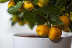 Mandarine drzewo Zdjęcia Stock