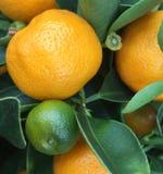Mandarine drzewo Obraz Stock