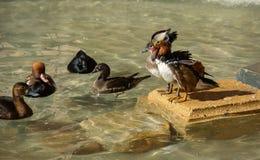 Mandarine duck Royalty Free Stock Photos