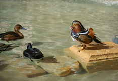 Mandarine duck Royalty Free Stock Images