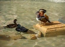 Mandarine duck Stock Images