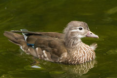 A Mandarine duck female. A mandarin duck female at the lake in Kew gardens in London, UK Royalty Free Stock Images