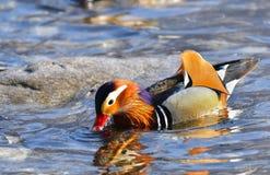 Mandarine Duck Male Photographie stock libre de droits