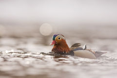 A Mandarine duck male. A Mandarin duck (Aix galericulata) at the Neris river in Lithuania Royalty Free Stock Photos