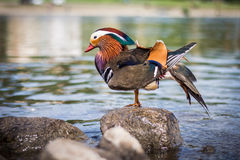 Mandarine duck Stock Images