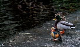 Mandarine Duck Royalty Free Stock Photography