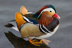 Mandarine Duck Standing im seichten Wasser Lizenzfreies Stockbild