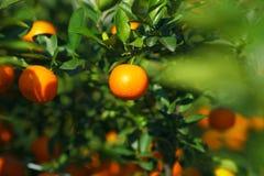 Mandarine eller satsuma i fruktträdgården Fotografering för Bildbyråer