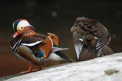 Mandarine-Ente (AIX galericulata) stockfotos