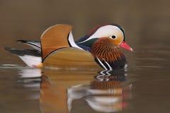 Mandarine-Ente (AIX galericulata) Stockfoto