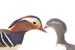 Mandarine-Ente, AIX galericulata Stockbilder