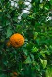 Mandarine entre les feuilles photographie stock libre de droits