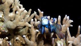 Mandarine-Fische, die im dunklen Hintergrund verbinden Stockfoto