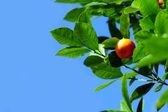 Mandarine Fruit. On the Mandarin Tree Stock Images