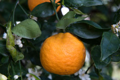 Mandarine im Baum Lizenzfreies Stockbild