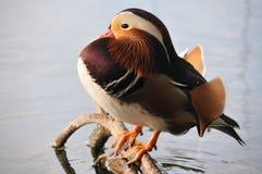 Mandarine kaczka Zdjęcia Stock