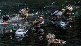 Mandarine kaczka Zdjęcia Royalty Free