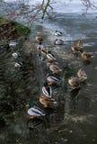 Mandarine kaczka Zdjęcie Royalty Free