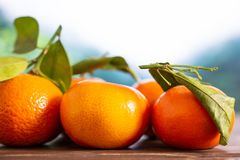 Mandarine with a leaf in a jungle. Group of five whole fresh orange mandarine with green leaves in a foggy jungle mountains stock images