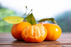 Mandarine with a leaf in a jungle. Group of three whole fresh orange mandarine with green leaves one fruit is half peeled in a foggy jungle mountains stock photos