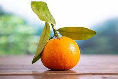 Mandarine with a leaf in a jungle. One whole fresh orange mandarine with green leaves in a foggy jungle mountains stock photography