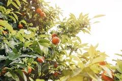 Mandarine sur l'arbre Photo stock