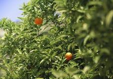 Mandarine sur une branche Photos stock