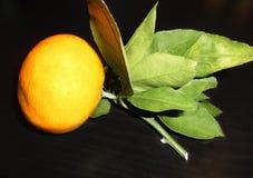 Mandarine sur une branche avec des feuilles Photo libre de droits