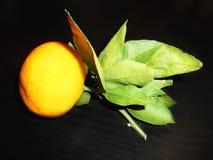 Mandarine sur une branche avec des feuilles Photographie stock libre de droits