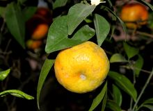 Mandarine, tangerina d'agrume souvent placé sous le deliciosa d'agrume photo stock